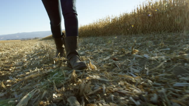 handheld shot of young woman with boots walking through a corn field at harvest under a clear, blue sky with mountains in the background in western, colorado at sunset - stem topic stock videos & royalty-free footage