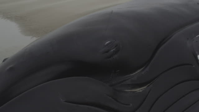 handheld shot stranded humpback whale, holland 2012 - stranded stock videos and b-roll footage