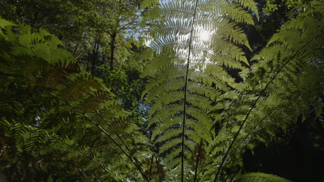 Handheld track round a large fern-like plant in a nothofagus forest, Barrington Tops National Park, New South Wales, Australia.