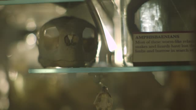 handheld view of an animal skull on a shelf - bokeh museum stock-videos und b-roll-filmmaterial