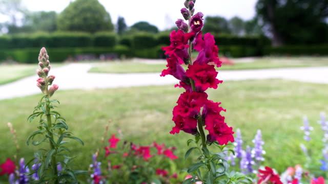 handheld view: violet gladiolus flowers in garden - gladiolus stock videos & royalty-free footage