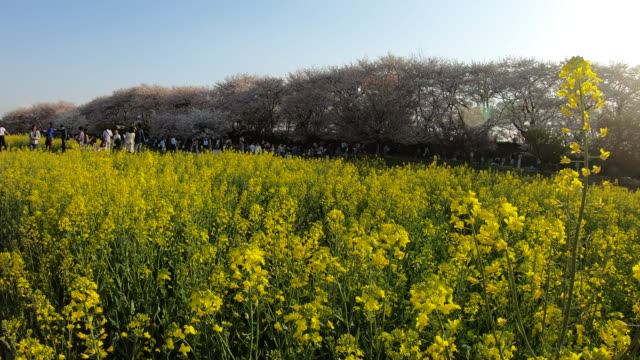 handheld, yellow flowers in field - satoyama scenery stock videos & royalty-free footage