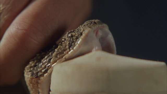 a handler milks venom from a snake. - milking stock videos & royalty-free footage