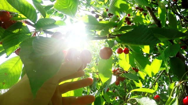 vídeos de stock, filmes e b-roll de selecionando as cerejas pov - pegando frutos