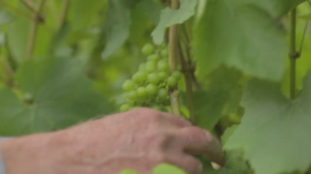 Hands clearing vines at Sussex vineyard