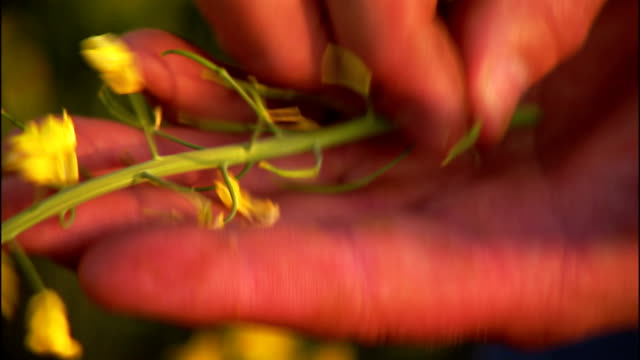 hands display the flowers and seed pods of a canola plant. - plant pod stock videos & royalty-free footage