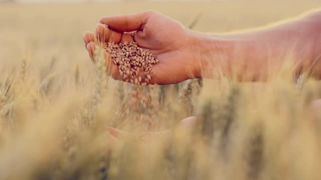 SLO MO Hands dropping wheat grains