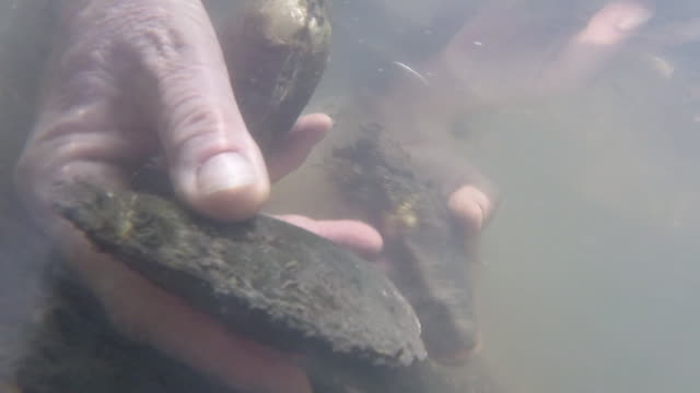 vídeos de stock, filmes e b-roll de wgn hands grab mussels from bottom of river bed in dupage count illinois on june 14 2018 - organismo aquático