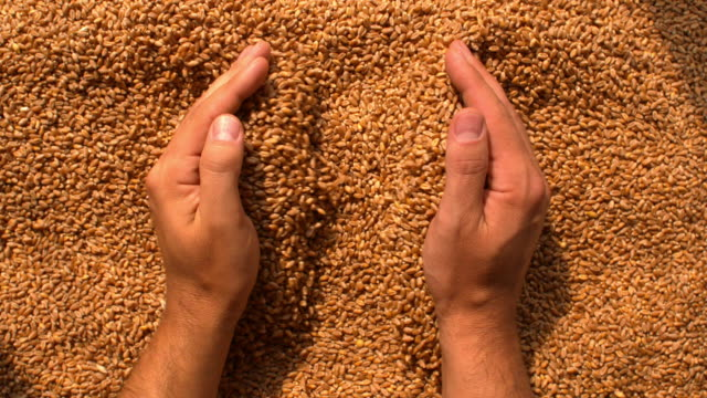 Hands grabbing wheat
