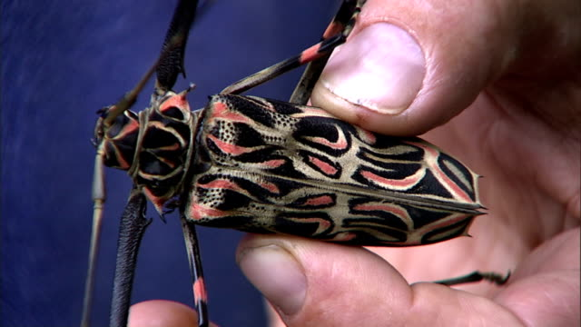 hands hold a harlequin beetle. - animal antenna stock videos & royalty-free footage