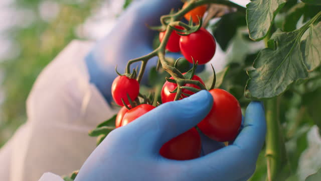 slo mo hands in gloves picking ripe tomatoes in a greenhouse - gardening glove stock videos & royalty-free footage