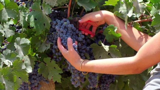 hands of a girl in grape harvest - ブドウ点の映像素材/bロール