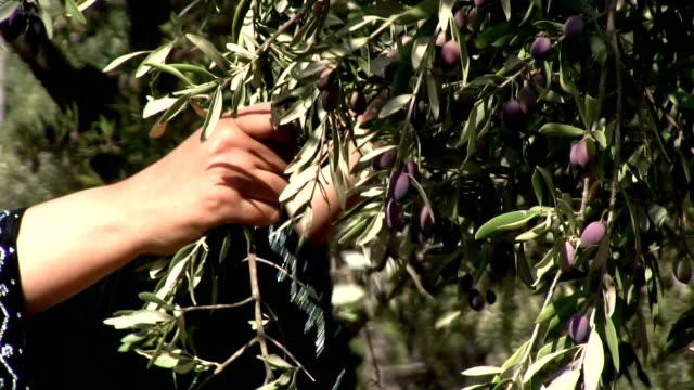 stockvideo's en b-roll-footage met hands of a woman harvesting olives, burqin village, jenin, palestine - palestijnse gebieden
