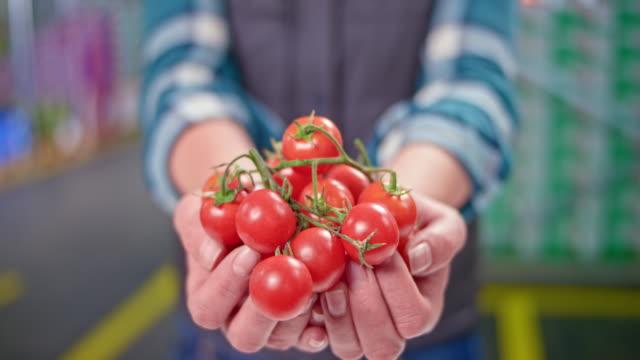 vídeos de stock, filmes e b-roll de mãos de tomates de cereja da terra arrendada da mulher - tomato