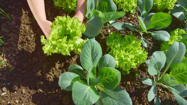 slo mo ds hands of a woman picking a lettuce from the sunny garden - leaf vegetable stock videos & royalty-free footage