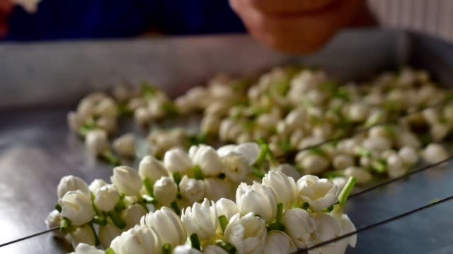 Hands of an Asian lady picking jasmine flower