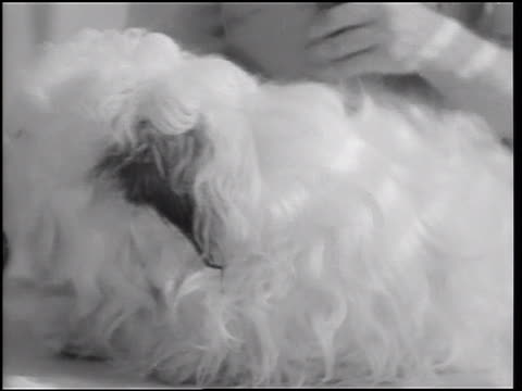 B/W 1933 hands of beautician fluffing sheep dog in pet beauty salon / Hollywood, California