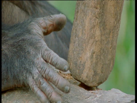 Hands of chimpanzee as it attempts to crack nuts with heavy branch, Congo