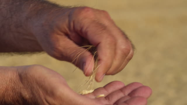 cu hands of farmer rasping the grains of an ear of wheat in order to check their quality / carmona, andalusia, spain - ear of wheat stock videos and b-roll footage