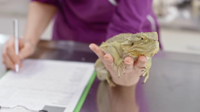 hands of female vet holding the bearded dragon in one hand while making notes with the other - reptile stock videos & royalty-free footage