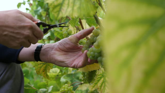 hands of grape picker cutting grapes of vineplant with secateurs. - ぶどう点の映像素材/bロール