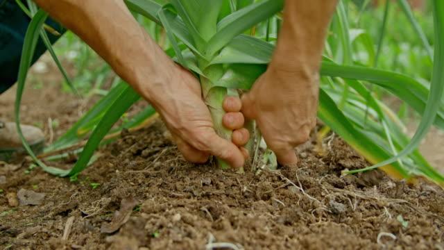 庭でネギを摘む男性庭師の手 - harvesting点の映像素材/bロール