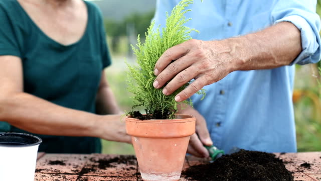 händen der älteres paar arbeiten zusammen die pflanzung eines baumes in einem topf - topfpflanze stock-videos und b-roll-filmmaterial
