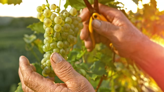 vídeos de stock e filmes b-roll de slo mo hands of senior man cutting grapes at sunset - one senior man only