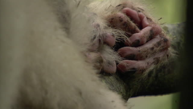 hands of silky sifaka (propithecus candidus) lemur resting in forest, madagascar - smooth stock videos & royalty-free footage