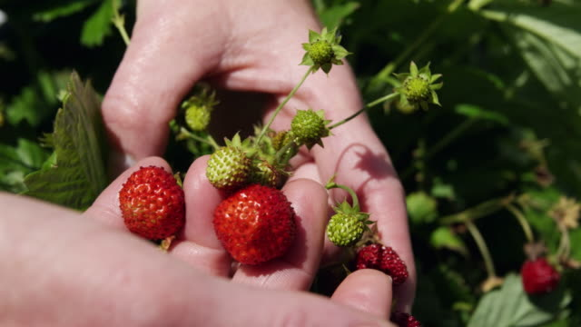 CU Hands of woman harvesting woodland strawberries (Fragaria vesca) / Malaga, Spain