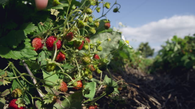 CU LA Hands of woman harvesting woodland strawberries (Fragaria vesca) / Malaga, Spain