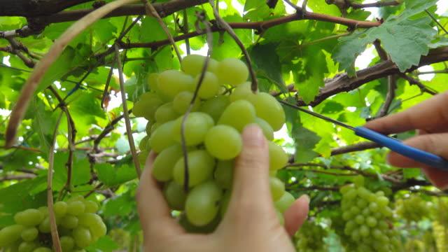 mani di donne che tagliano l'uva - uva video stock e b–roll