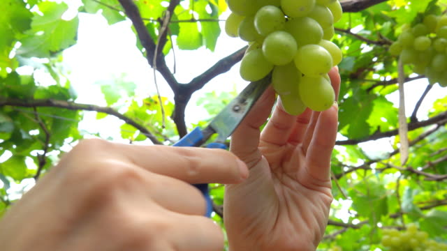 hands of women cutting grapes - grape stock videos & royalty-free footage
