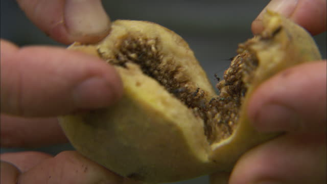 hands open a guava with fruit fly infestation in africa. - infestation stock videos & royalty-free footage