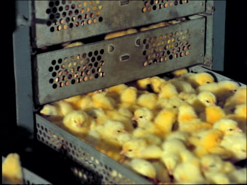 hands open drawer full of baby chicks in coop / brazil - baby chicken stock videos & royalty-free footage