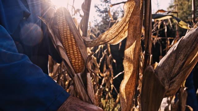 SLO MO Hands Peeling The Ear Of Corn