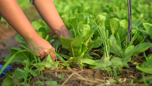 hands picking a green cos in organic vegetable farm, collect and put in the basket - leaf vegetable stock videos & royalty-free footage