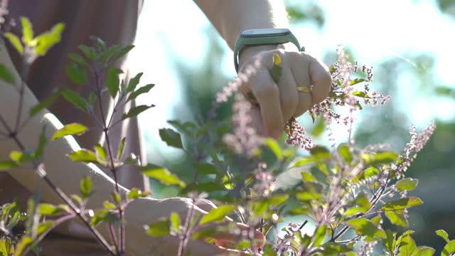 vidéos et rushes de slo mo mains cueillant la feuille de basilic au jardin - fraîcheur