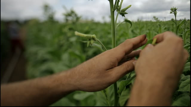 hands picking flowers of tobacco plant - leaf stock videos & royalty-free footage