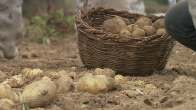 hands picking potatoes on farm - potato stock videos and b-roll footage