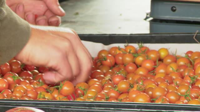 CU Hands picking ripe tomatoes