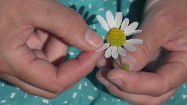 Hands playing he loves me, he loves me not by tearing off petals of a daisy flower