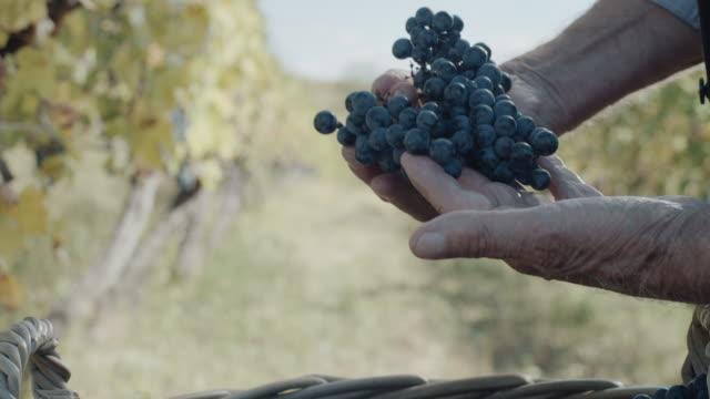 vídeos y material grabado en eventos de stock de manos con deliciosas uvas frescas de color azul oscuro - uva cabernet sauvignon