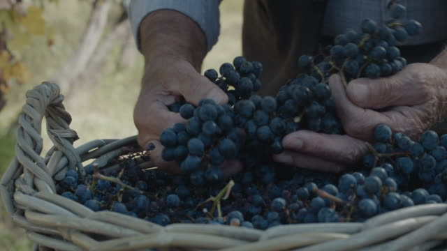 hands with fresh delicious dark blue grapes - picking harvesting stock videos & royalty-free footage