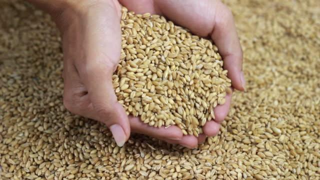 vídeos de stock, filmes e b-roll de mãos com grãos de trigo - filme colagem