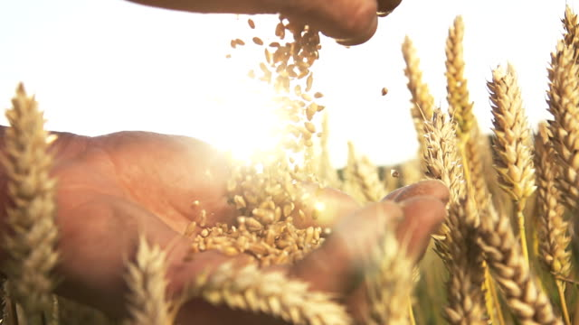 stockvideo's en b-roll-footage met hd super slow mo: hands with wheat grains - field