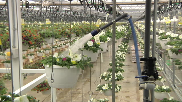 cu zo ms hanging baskets of flowering plants passing through automatic watering station at commercial greenhouse, carleton, michigan, usa - greenhouse stock videos & royalty-free footage