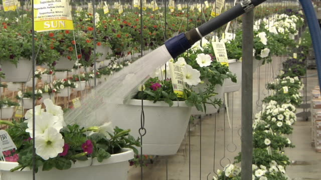CU ZO MS Hanging baskets of flowering plants passing through automatic watering station at commercial greenhouse, Carleton, Michigan, USA