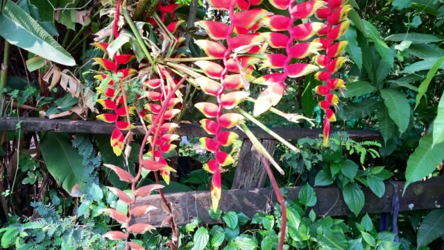hanging lobster claw heliconia - heliconia stock videos & royalty-free footage