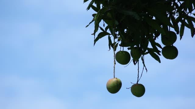 cu hanging mango waving by wind at tree branch / onomea, big island,hawaii, united states - mango stock videos and b-roll footage